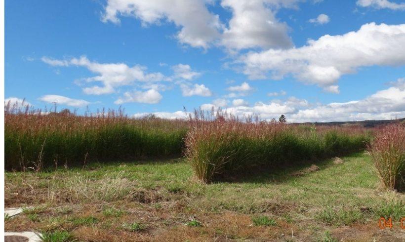 Sembrar Chrys Grass Produce Felicidad