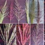 Chrys Grass es C4 , C4 vs C3